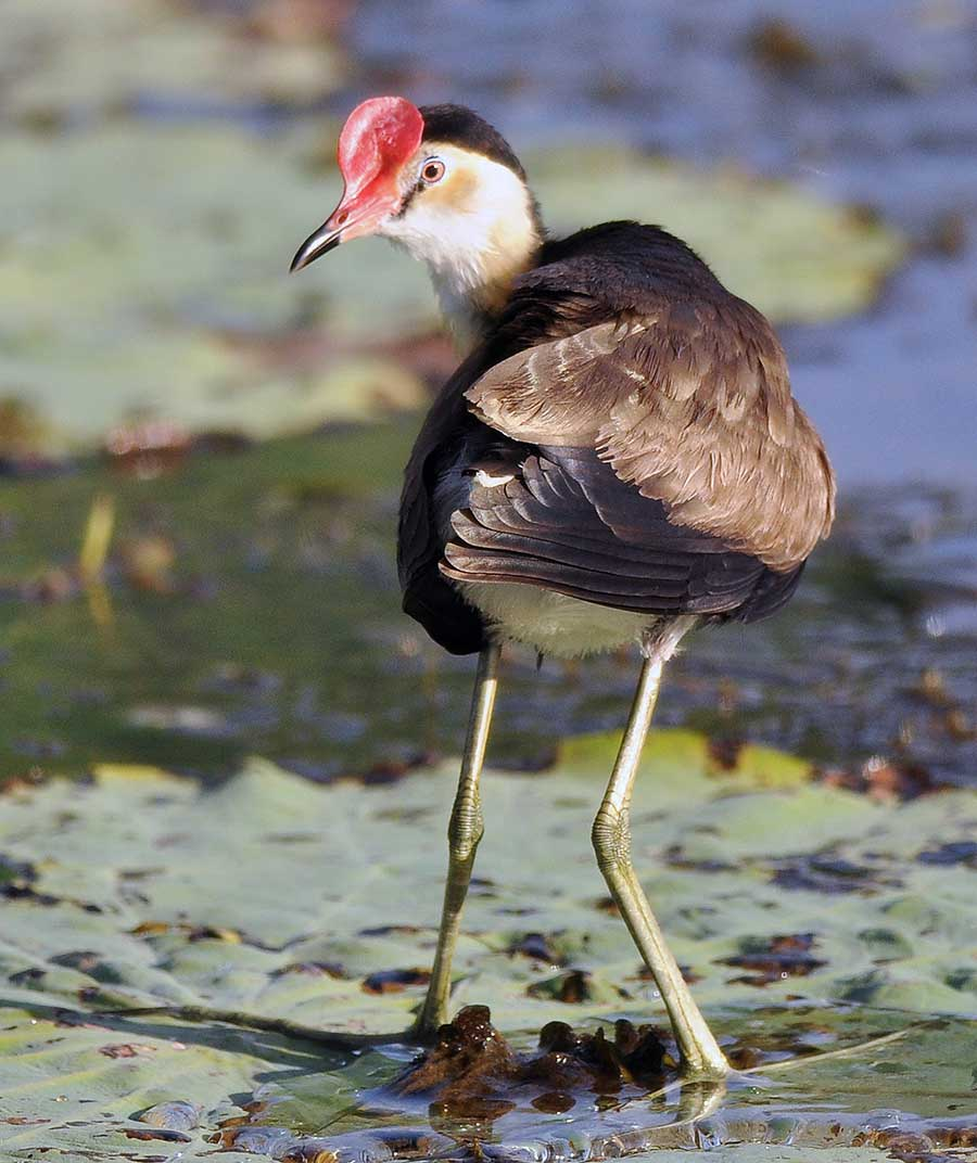 Comb-crested Jacana Irediparra