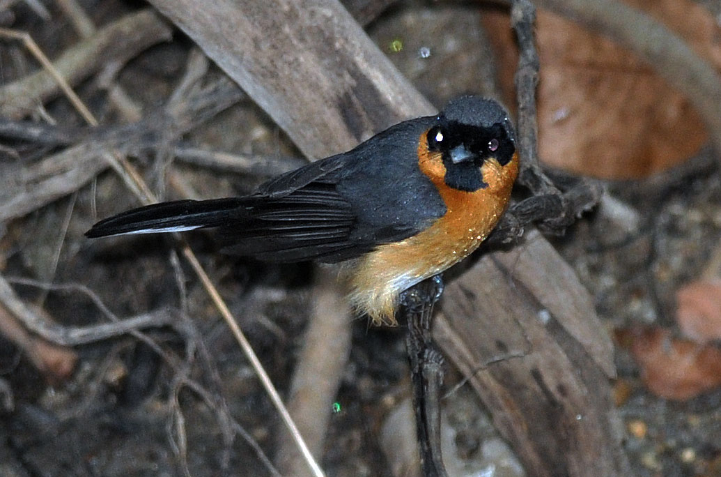 Spectacled Monarch (Monarcha trivirgatus
